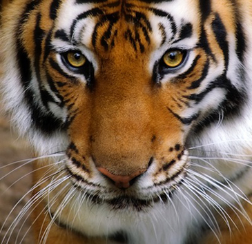 Close up photograph of a tiger's face